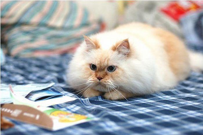 Cute and Funny Himalayan Cat (13 pics)