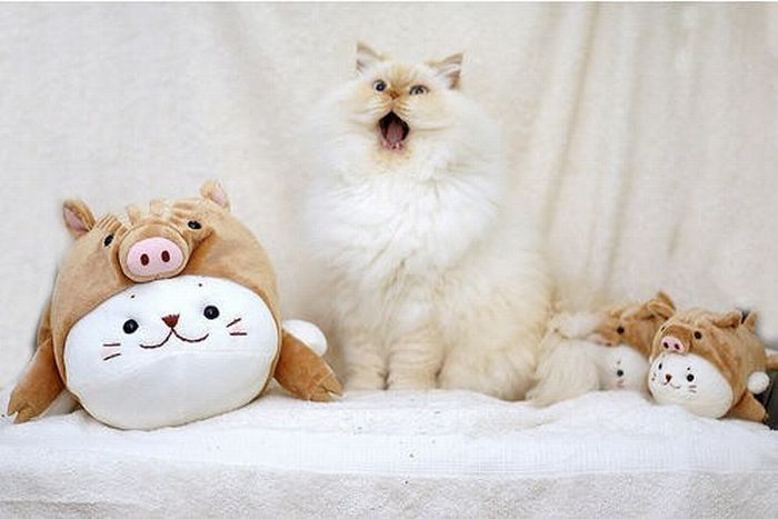 Cute and Funny Himalayan Cat (13 pics)