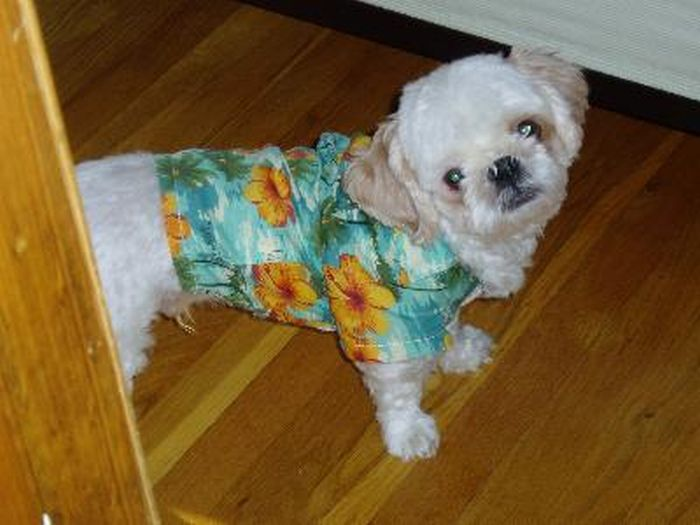 Dogs in Hawaiian Shirts (23 pics)