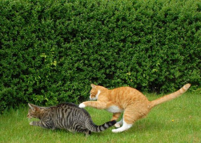 Cat Fight. Literally (59 pics)