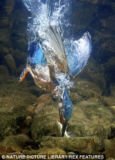 Feeding Kingfishers (6 pics)