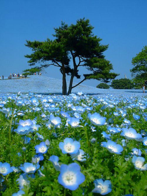 Hitachi Kaihin Park in Japan (16 pics)