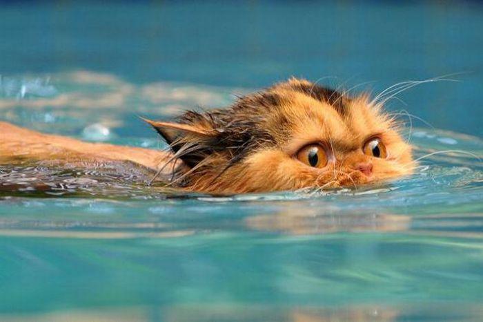 Swimming cats (altre foto veramente belle sul sito) dans gatti swimming_cats_05