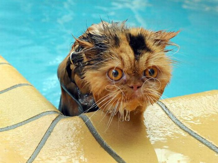 Swimming Cats. Part 2 (30 pics)