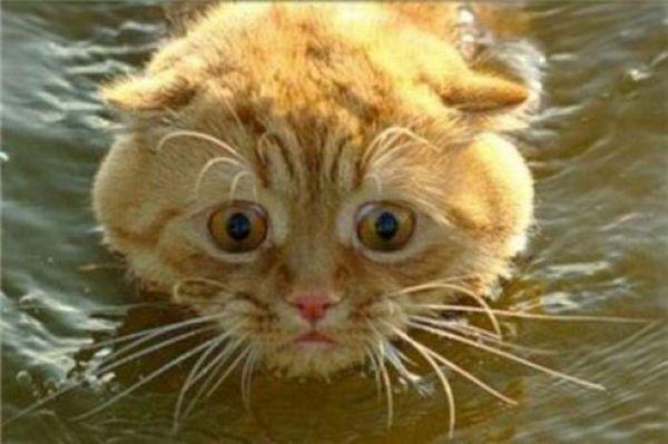 Swimming Cats. Part 2 (30 pics)