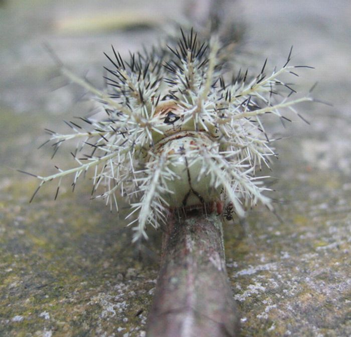 Lonomia Obliqua – The World's Deadliest Caterpillar (6 pics)