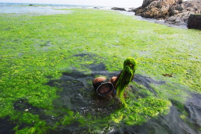 Seaweeds Invade the Shores of China (18 pics)