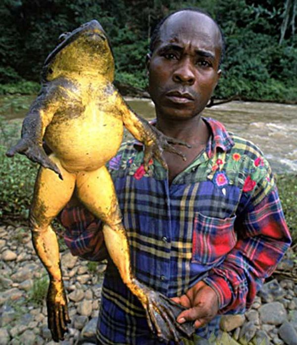Giant Frogs (3 pics)