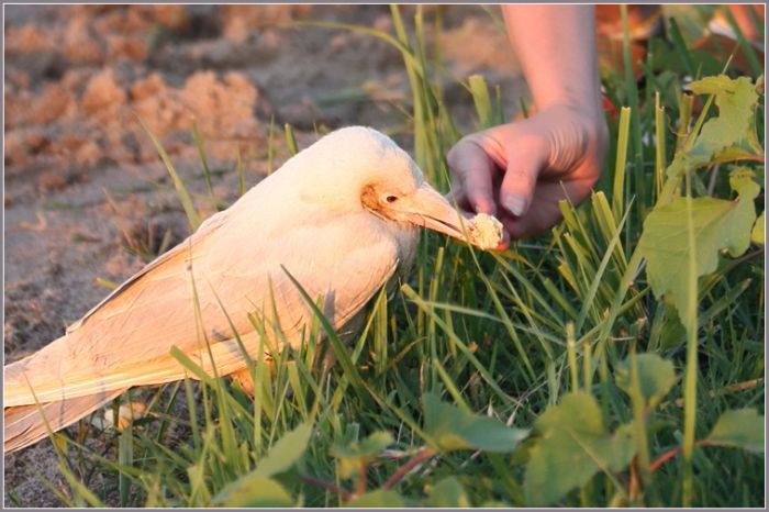 White Crow (4 pics)