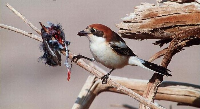 Lanius Hang Their Prey on Thorns for Storage (7 pics)