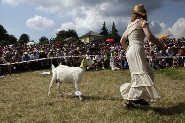 Goat Beauty Contest (7 pics)