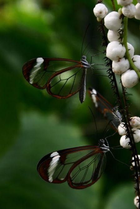 Glasswing Butterfly (10 pics)