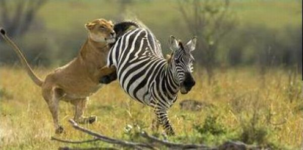 Zebras Know How To Protect Themselves (11 pics)