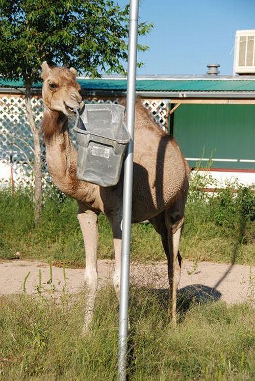 Camel vs Bin (19 pics)