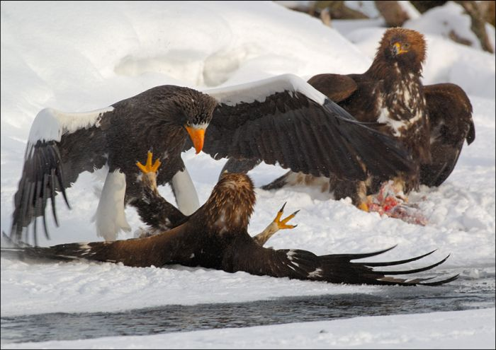 When Bears and Eagles Go Fishing (31 pics)