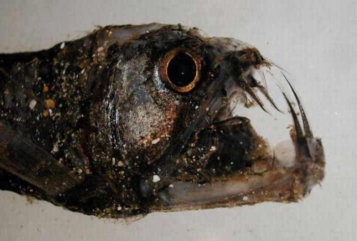 Strange and Rare Underwater Creatures (25 pics)