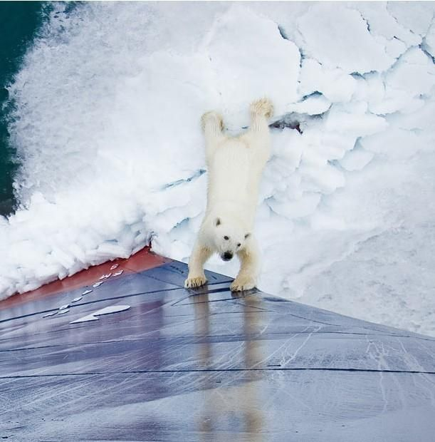 Polar Bear Came to Play (13 pics)