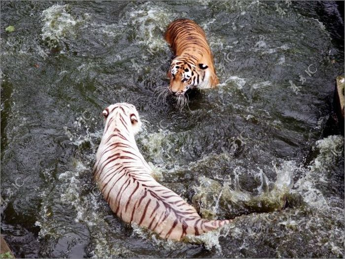 Tigers Fight for a Pool (15 pics)