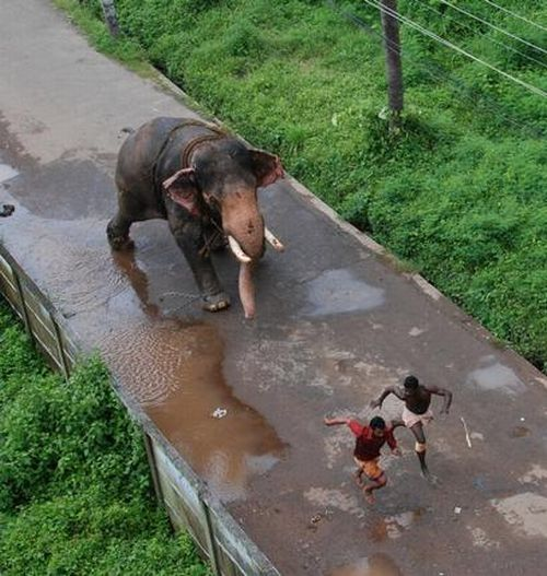 Elephant's Wild Run (5 pics)