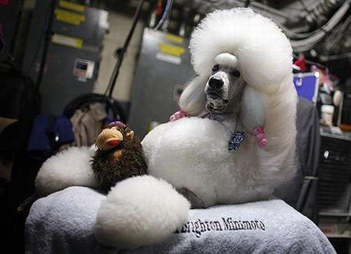 Worst Dog Haircuts (49 pics)