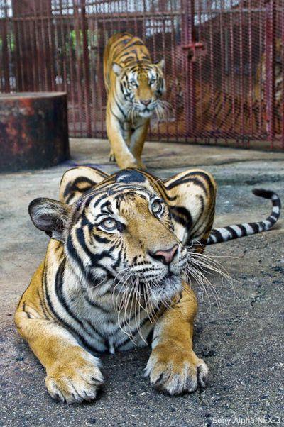 Tiger Farm in Thailand (20 pics)