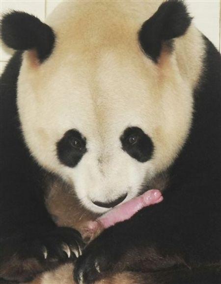 Giant Panda And Her Her Newborn Cub (4 pics)