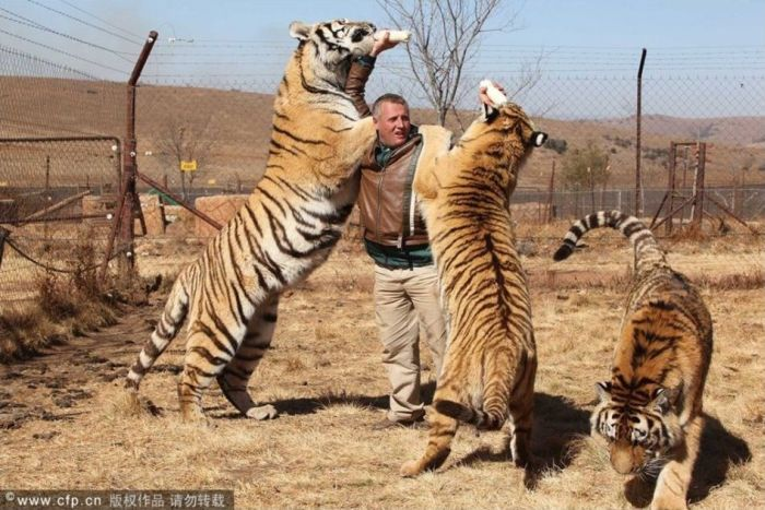 A Man And His Tigers (4 pics)