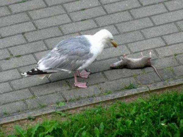 A Seagull Swallows an Entire Dead Rat (5 pics)