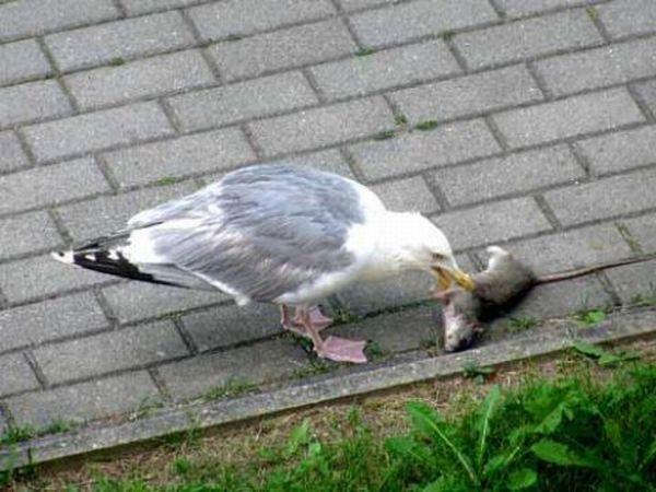 A Seagull Swallows an Entire Dead Rat (5 pics)