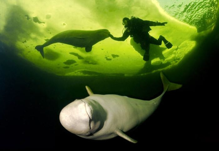 Swimming With Belugas (15 pics)
