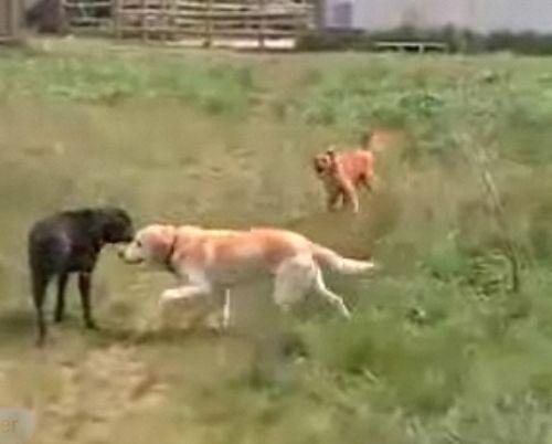 Raving Dog