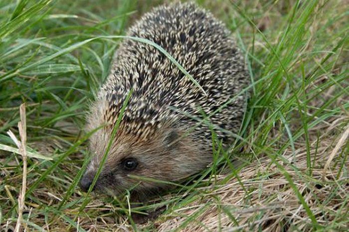 Cute Hedgehogs (55 pics)