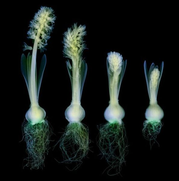Flowers Under X-Ray (19 pics)