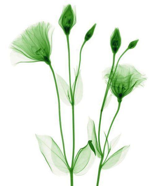 Flowers Under X-Ray (19 pics)