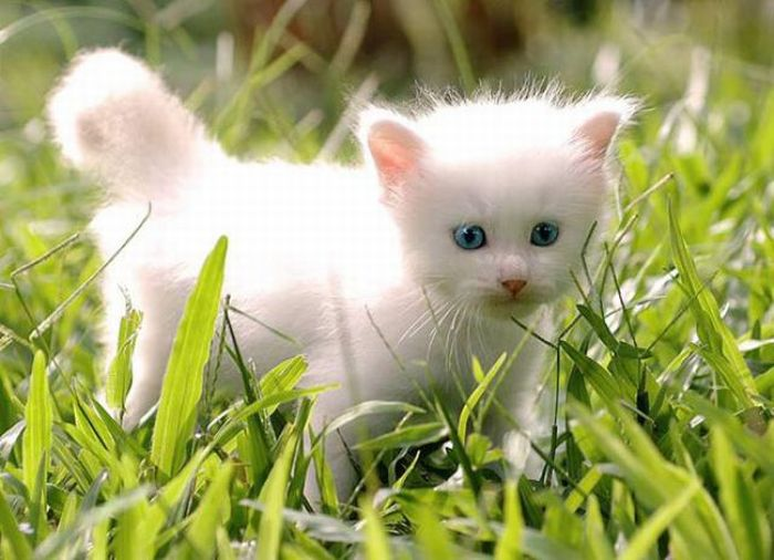 Cute White Kitten (8 pics)