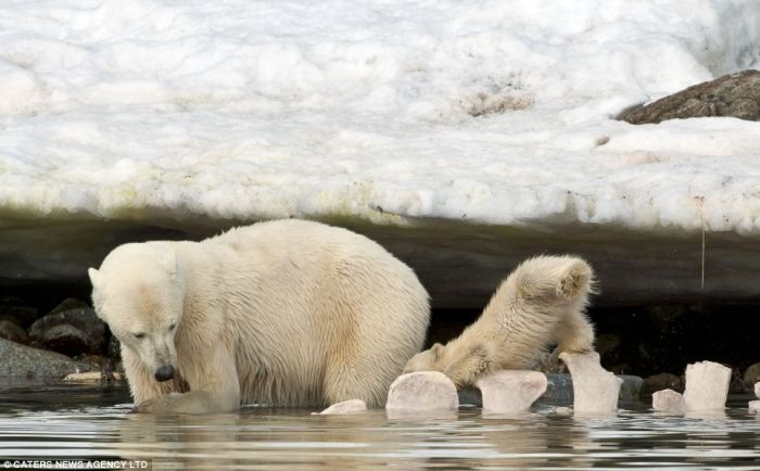 A Polar Bear Cub Slipped Into The Icy Water (4 pics)