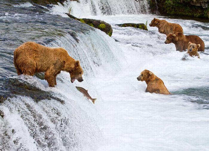 Bears Fishing for Salmon in a River in Alaska (17 pics)