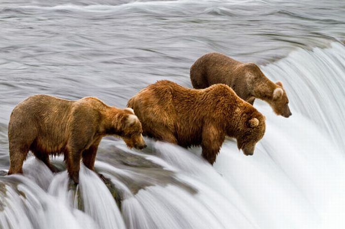 Bears Fishing for Salmon in a River in Alaska (17 pics)