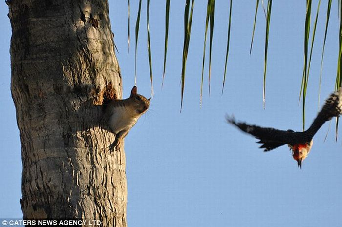 Squirell Steals a Woodpecker's House (3 pics)