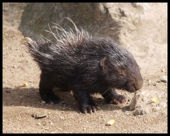 Cute Baby Porcupines (34 pics)