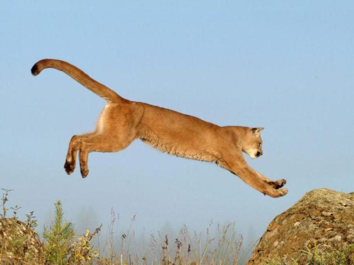 Large Cats (99 pics)