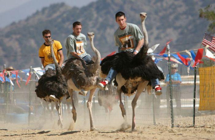Ostrich Festival in Arizona (9 pics)