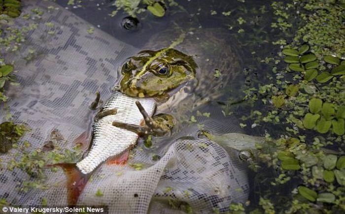 Unbelievable. Frog Eats a Fish! (3 pics)
