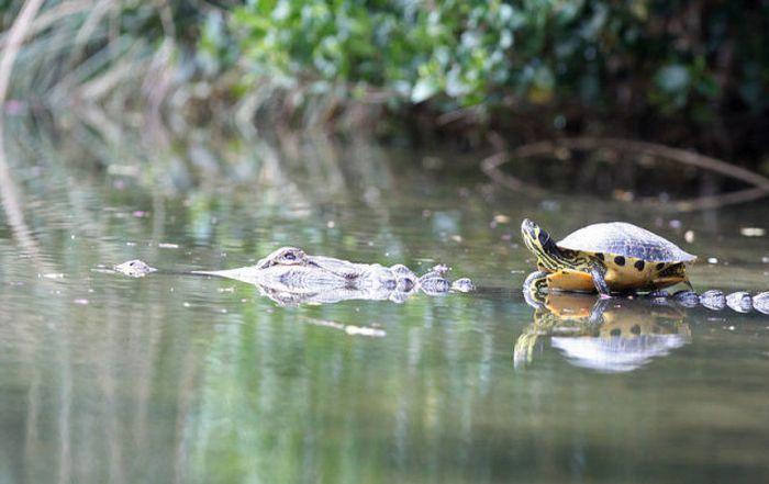 Turtle and Crocodile BFF (10 pics)