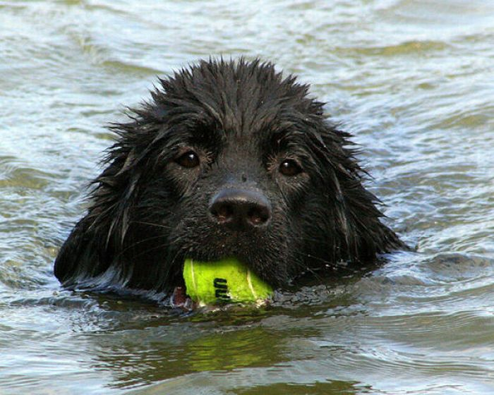 Dogs with Tennis Balls (36 pics)