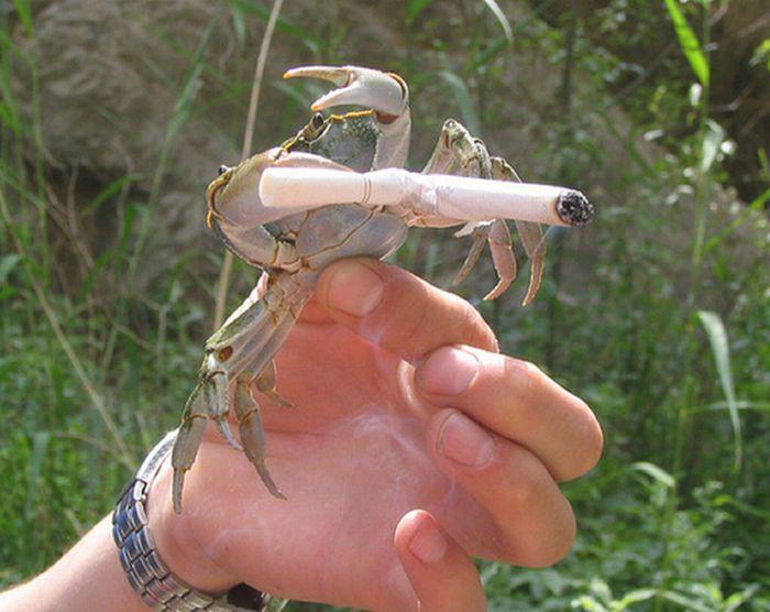 Crabs Smoking Cigarettes (19 pics)