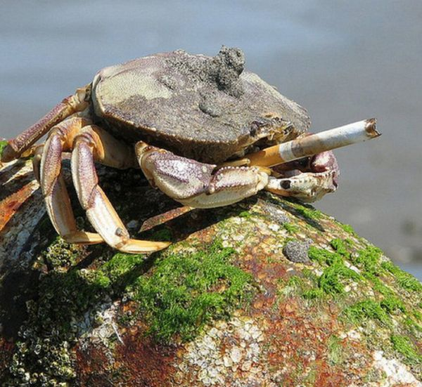 Crabs Smoking Cigarettes (19 pics)