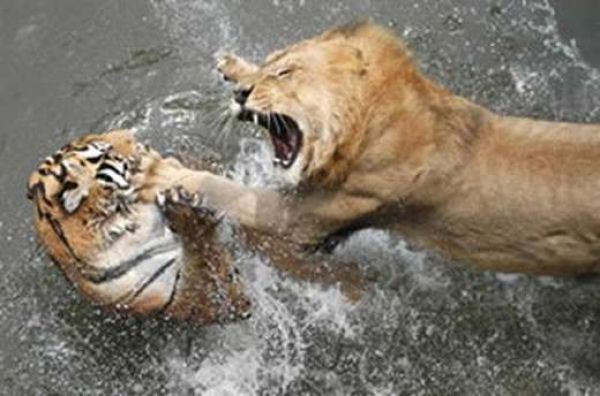 When Animal Fight (21 pics)