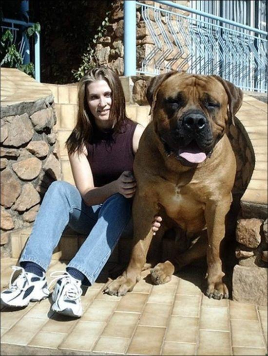 Giant Dogs (19 pics)