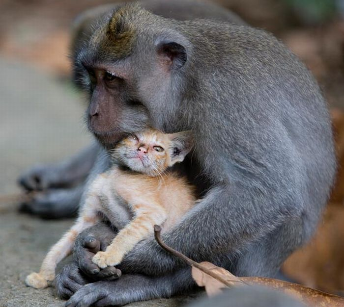 Macaque Monkey Adopts a Kitten in the Forests of Bali, Indonesia (6 pics)
